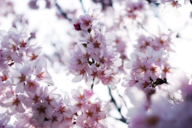 150412_谷戸城桜_UP02