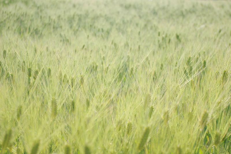 150530_小麦