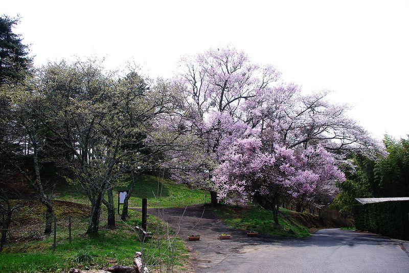 150412_谷戸城桜